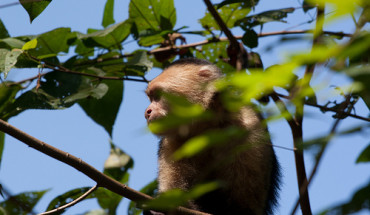 Monkey in Costa Rica